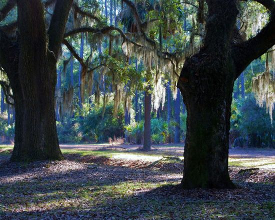 Nature Photography  Draped in Spanish Moss  by PetitePastiche, $30.00