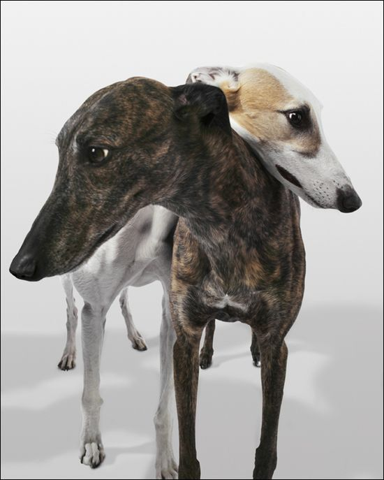 greyhounds ? ? ?