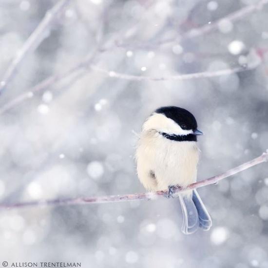 ? winter bird~ chickadee in snow