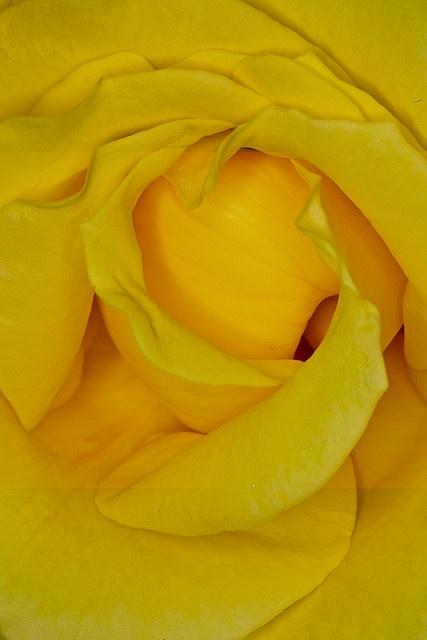 ...rose