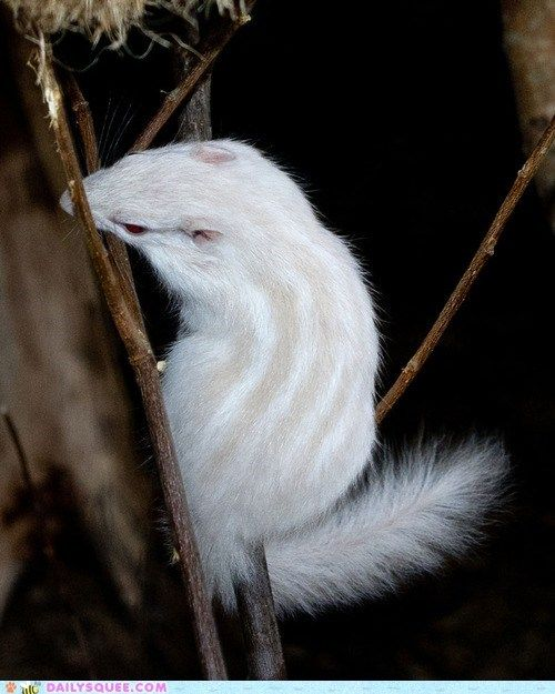 Albino Chipmunk