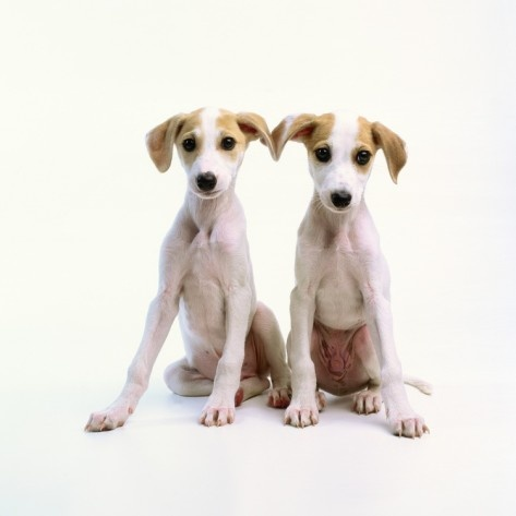 Whippets! forever puppies