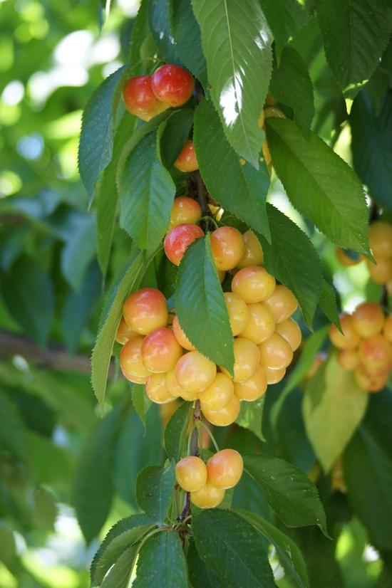 My Rainier cheeries...I love them!  They are sooo sweet!!!!