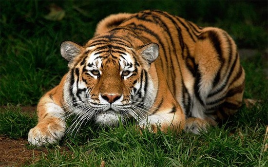 The Great TIGER! wild animal