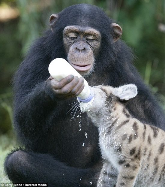 Chimp feeding Baby Hyena . . .