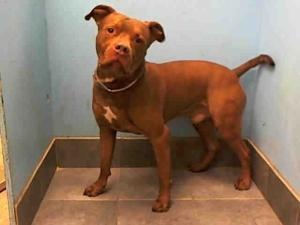 BROSIUS is an adoptable Pit Bull Terrier Dog in New York, NY.  ...