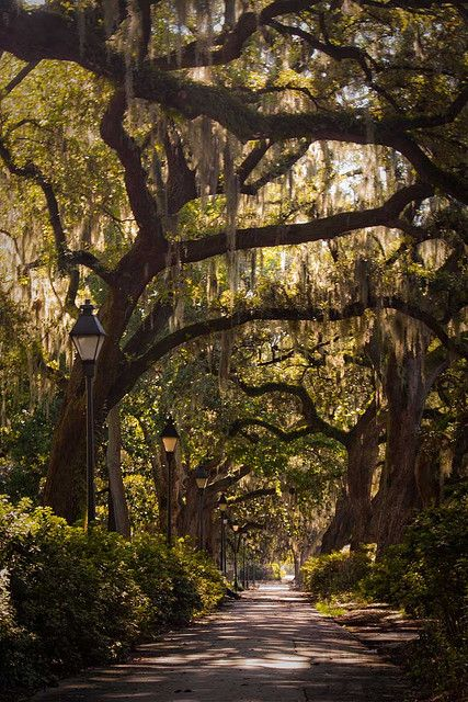 Spanish moss growing on an oak tree, Savannah, Georgia