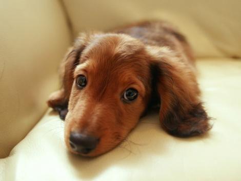 sweet puppy dog eyes #cute #doxie #dachshund