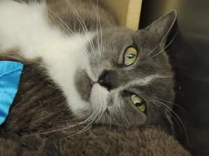 Cannoli is an adoptable Domestic Short Hair-Gray Cat in Bethesda, DC. Cannoli is a beautiful and spunky 3 year old cat. ?Although she has an eartip, she is a friendly gal who likes to be held and pett...