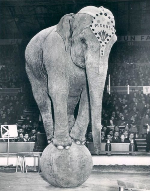 Piccolo the Elephant, Bertram Mills Circus, 1951, London.  Please, NEVER go to circus that uses performing animals. As cool as these old photos are, the reality for these poor animals is a horror and we should know better in this day and age. Please spread the word!