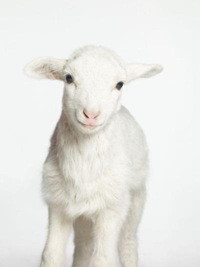 Lamb. white on white. cute animal photos.