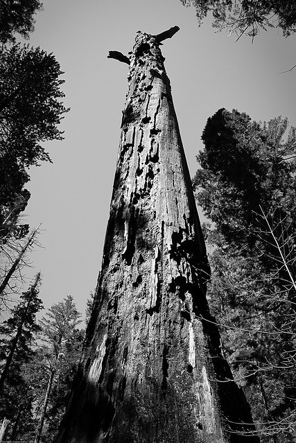 """The Mother of the Forest"" was an ancient and huge Giant Sequoia. 321 ft tall, 90ft at ground-level, 2,520 years old, and covered in bark 2 ft thick, the tree was stripped in 1852 by its discoverer George Gale and quickly perished. Its fire-blackened snag, over 100 ft tall, still stands today in Calaveras, CA."