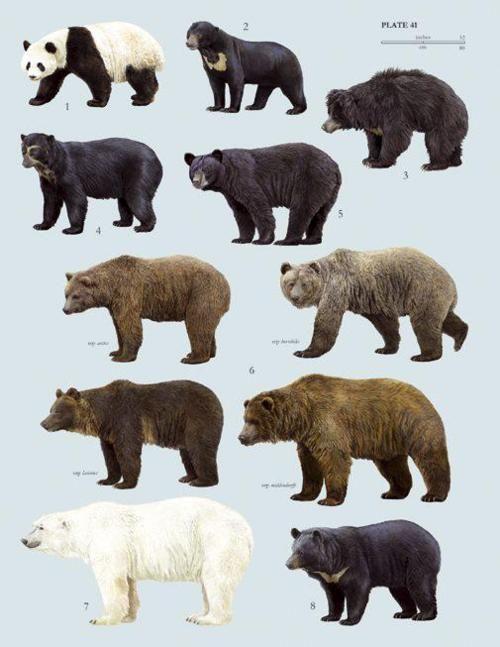 Poster of the 8 bear species: Top L to R  panda, sun bear, sloth bear, Andean or speckled bear,N American black bear, brown bear, polar. Asiatic or moon bear. Note: A Koala is not a bear.