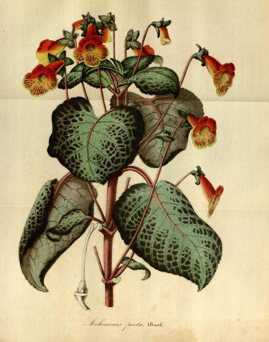 ?  Flore des serres et des jardins de l'Europe - Biodiversity Heritage Library 1845