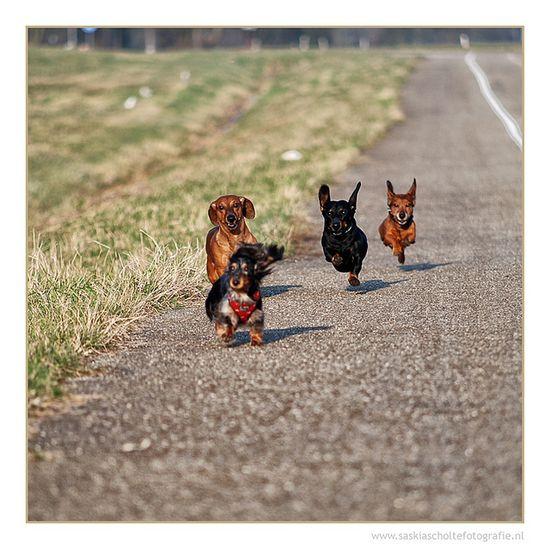 running dachshunds