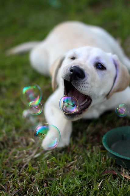 Labrador puppy trying to catch bubbles!