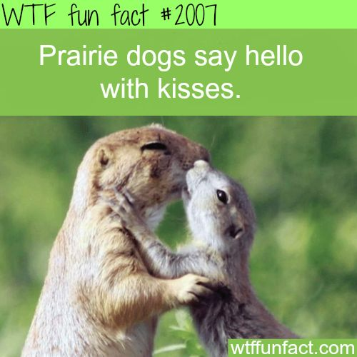 Prairie dogs say hello with kisses  WTF fun facts