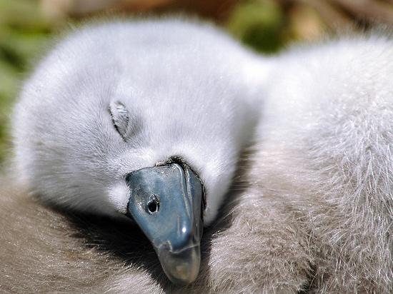 Sweet dreams by Jacky Parker. A Cygnet asleep.