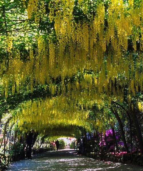 The famous Laburnum Arch at Bodnant Garden - Conwy, Wales