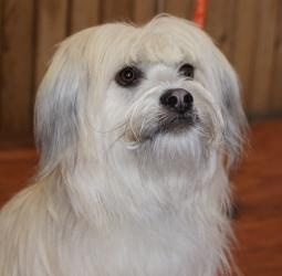 Sully is an #adoptable #Tibetan #Terrier #Dog in #Prosser, #WA. This silly and peppy little guy is an owner surrender. He is 1- 1/2 years old and a really happy dog. Dont worry, he does settle down in the h... ~~ he's trained & likes #cats according to the original pinner.... what's not to love ?