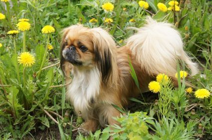 Fun Physical Exercise for your Peke! #exercise #physical exercise #Workout Exercises #physical exercise #physical exertion #Workout Exercises #exercising