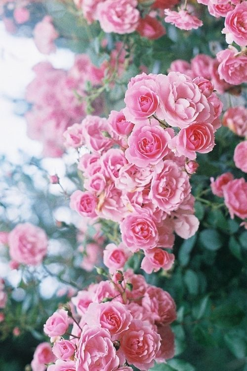 {?}  roses