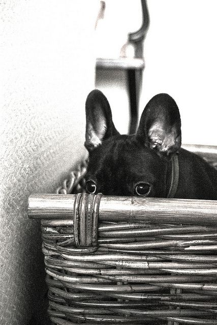 Love me some French Bulldog Puppies.