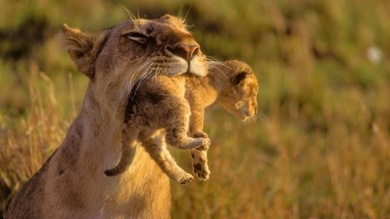 Mother Lion and her Baby  #animal #mother #lion #baby #photography