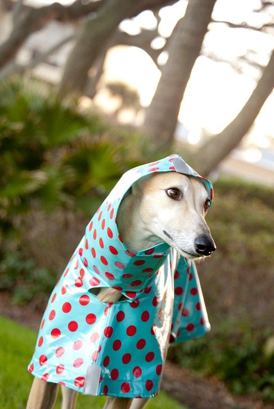 greyhound in a cute raincoat