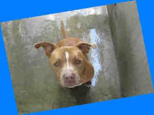 BUDDY is an adoptable Pit Bull Terrier Dog in Van Nuys, CA.  ...