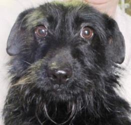 #ALABAMA #URGENT ~ Missy is an #adoptable Schnauzer dog in #Wedowee. Come & meet Missy our adorable Schnauzer mix! She has a gentle personality and loves having her tummy rubbed! Missy is looking for a loving famiily of her very own. RANDOLPH COUNTY ANIMAL SHELTER 104 Animal Shelter Road #Wedowee, AL 36278 Tue-Sat 9am-3pm If you're interested in adopting after hours, please call for an app't. Ph/Fx 256-357-0101 mailto:RandolphAn...