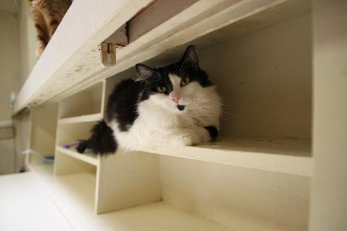 Polly Ann, an adoptable cat in Tucson, AZ shows off the benefits of low shelving for cats.