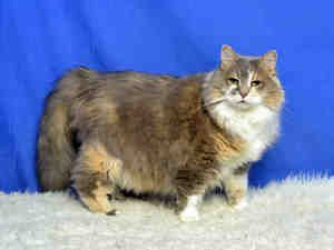 MISSIE is an adoptable Domestic Long Hair Cat in Saint Louis, MO. MISSIE IS A BEAUTIFUL, LAID-BACK CAT! SHE IS AFFECTIONATE AND CURIOUS. SHE ENJOYS PLAYING WITH HER OWNERS. SHE IS ALSO INDEPENDENT AND...