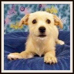 Irina is an adoptable Terrier Dog in Glendale, AZ.  DOB: 4/15/13 Spayed Female Breed: Terrier mix Weight: 6.0 lbs. Needs Obedience Training           Loves attention and laps Normal activity level for...