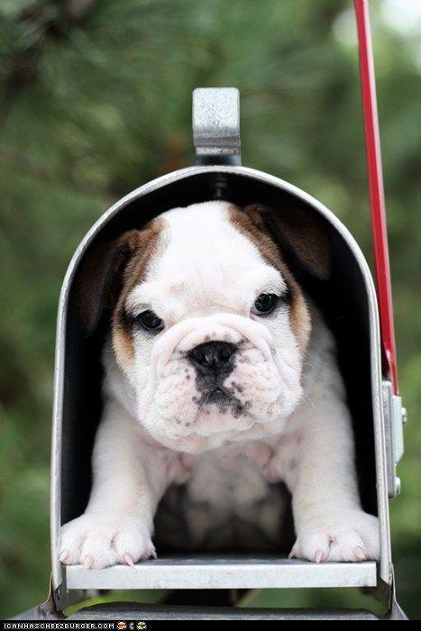 mailbox bulldog puppy