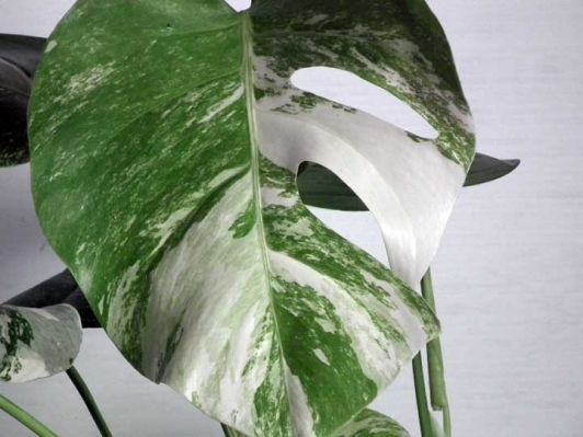 Variegated Monstera - Home and Garden Design Ideas