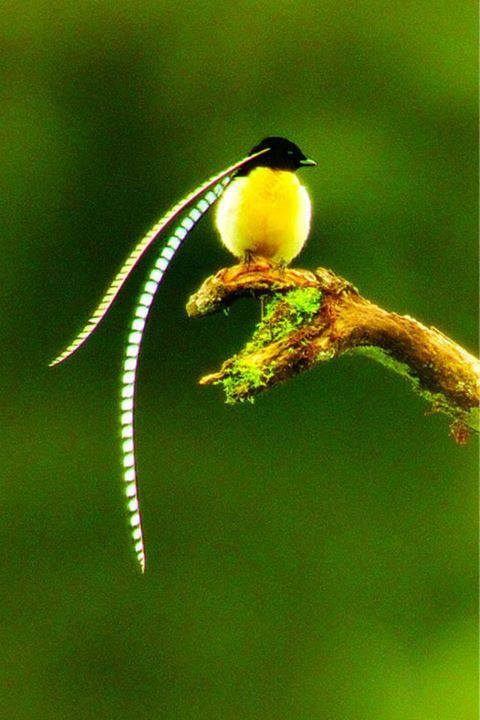 Bird Of Paradise via Wildlife and Nature Pictures   ...........click here to find out more     googydog.com