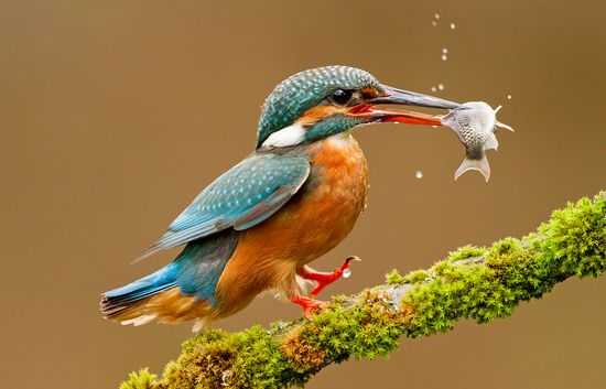 A kingfisher with its prey.
