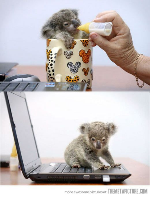 Baby koala rescued after getting lost…
