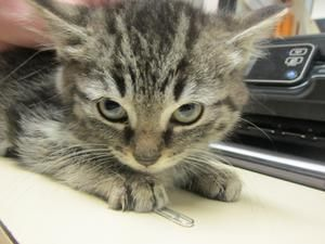 Noodles is an adoptable Domestic Medium Hair Cat in Princeton, WV. Hi, I'm Noodles! I'm a Medium DMH Brown Mac Tabby Female Kitten. I'm spunky and playful and sweet as can be! I have cattitude! Adop...