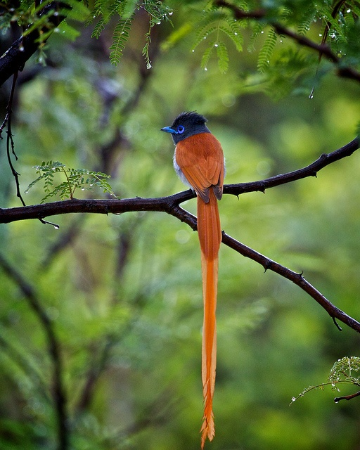 Paradise Flycatcher  ? ? www.paintingyouwi...
