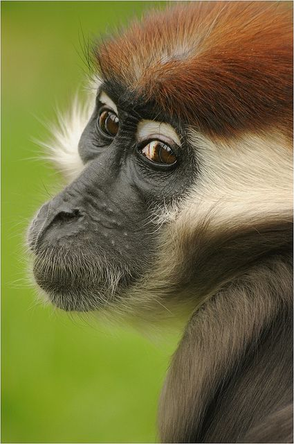 Red Caped Mongabey