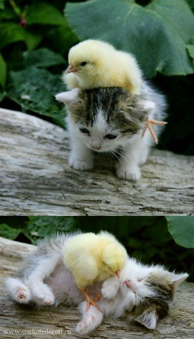 A kitten and a chick!