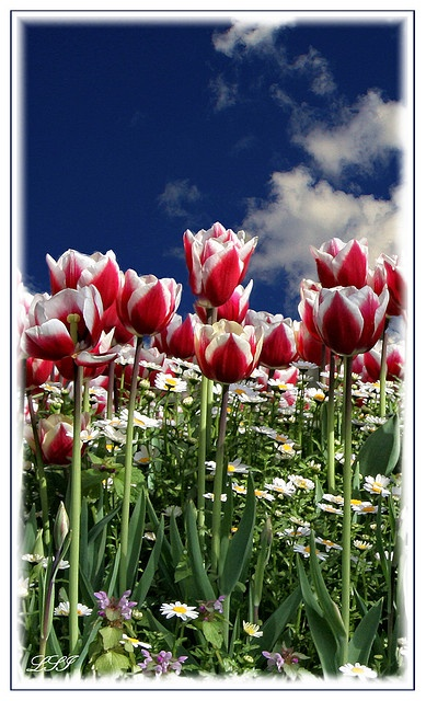 Tulip and Daisy, Istanbul