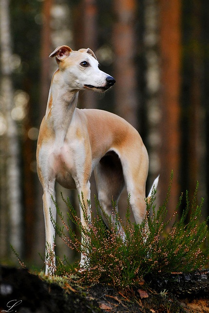 Whippet. By laura75235.
