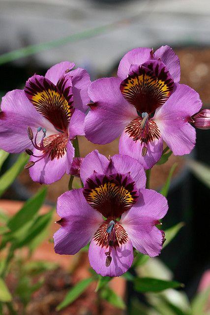 Alstroemeria magnifica orchid