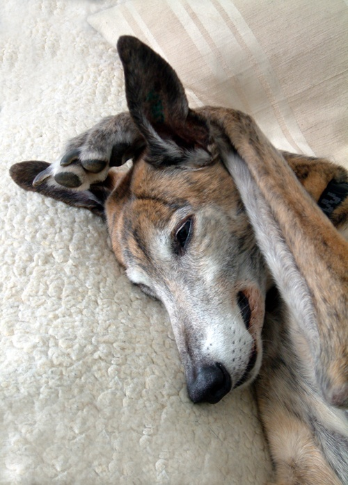 Classic greyhound pose - just like our Jack :-)