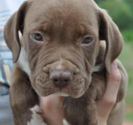 Luke is an adopted Pit Bull Terrier Dog in Taylorsville, NC. Luke 6 weeks old and very sweet and very healthy All of our animals are examined by a veterinarian, given age-appropriate vaccinations, dew...