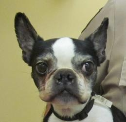 #OHIO ~  Caroline ID 55 is a Boston Terrier Dog in #Canton picked up  stray on 5/18 & #adoptable  5/22.  Can U help Caroline connect with her loving fur-ever home ? #Adopt at the STARK COUNTY DOG WARDEN  1801 Mahoning Rd NE   #Canton OH 44705  Ph 330.451.2343