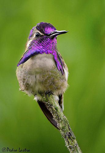 Costa's Hummingbird, Wings of the Tropics. Fairchild Tropical Botanic Garden.